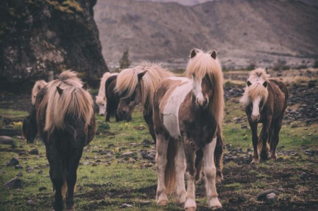 Hold your horses - The Icelandic pure breed